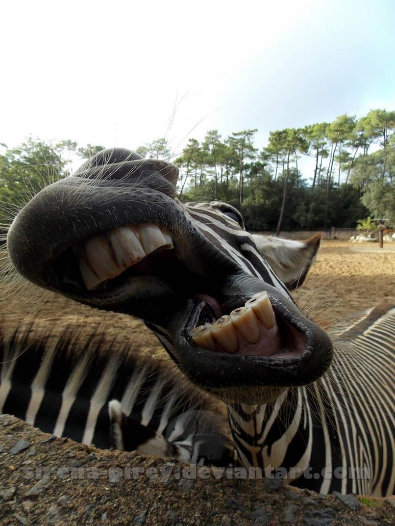 Kiss Zebra?