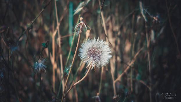 Dandelion -- A Wish Blow Flower