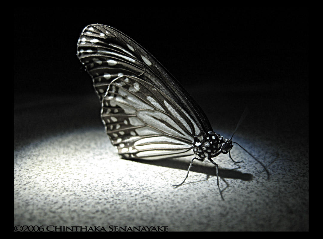 Butterfly under the Spotlight by Chinsen