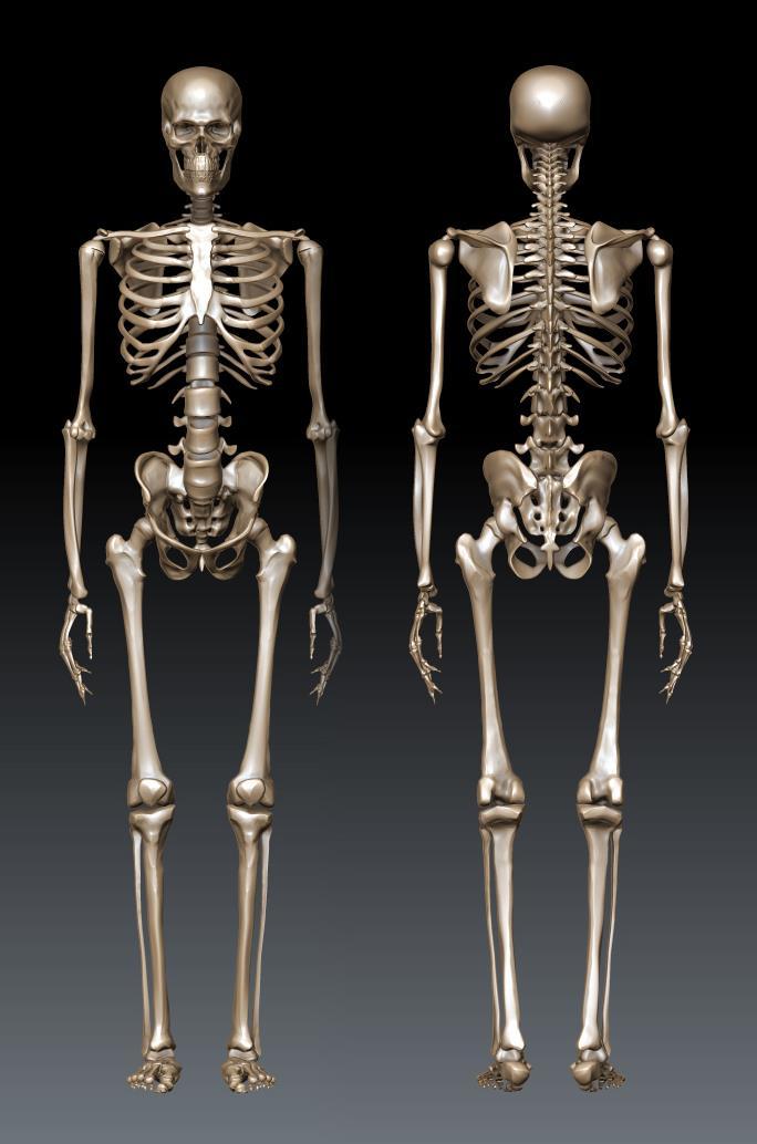human male skeleton by gvdigitalsculptor on deviantart