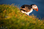 Puffin in Iceland 3