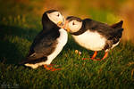 Puffin in Iceland 4 by Nightline