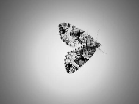 Butterfly - black and white