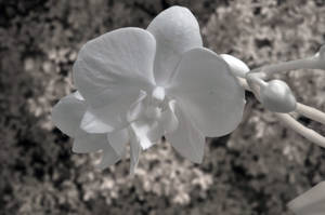 Orchid 720nm