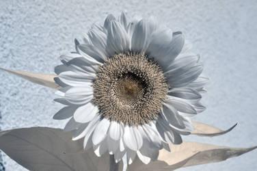 infrared sunflower