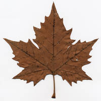 maple leaf by vw1956stock