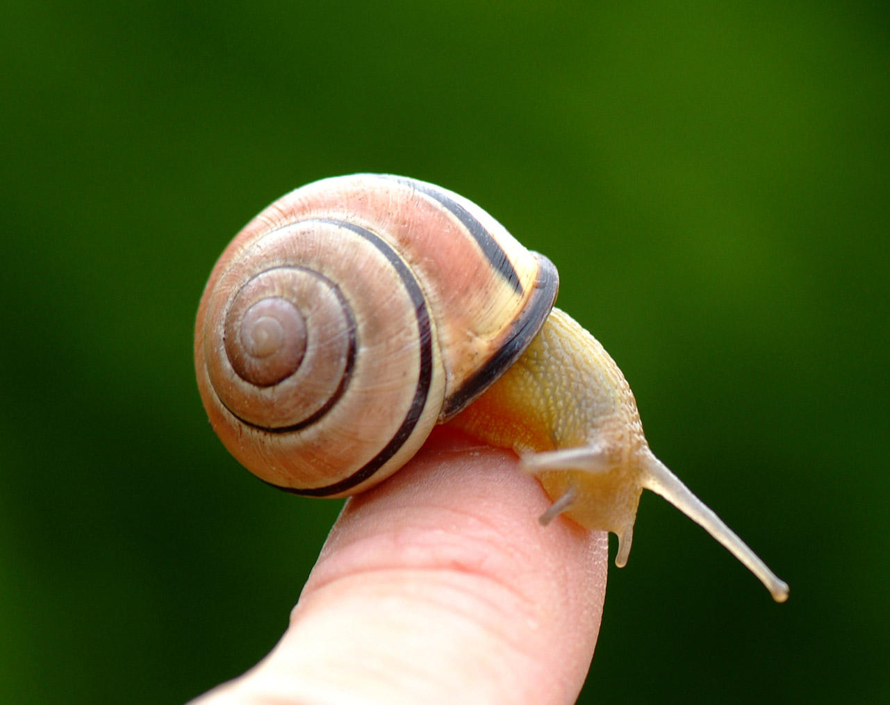 snail on my finger by vw1956stock