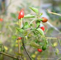 Rain-Kissed Chili Pequins