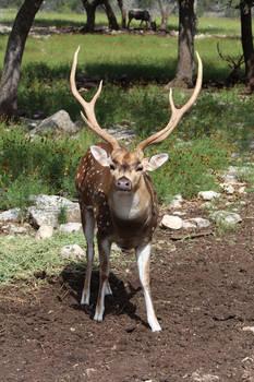 Sika/Axis Deer 1