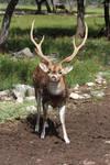 Sika/Axis Deer 1 by Nolamom3507