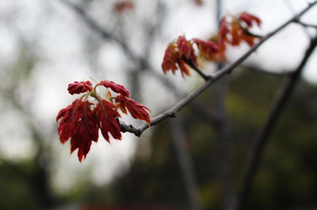 Red Oak by Nolamom3507