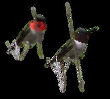 Male Rubythroat Hummingbird 1