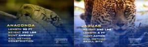 Anaconda vs. Jaguar