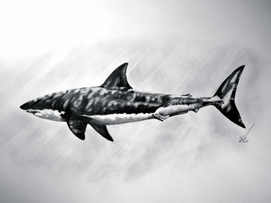 Great White shark by salt25