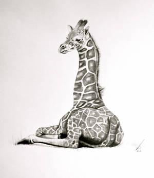 Just resting-baby Giraffe