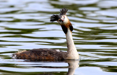 Great Crested Grebe by salt25