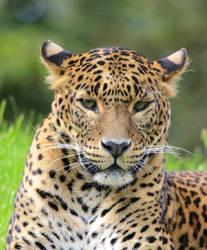 Sri Lankan Leopard by salt25