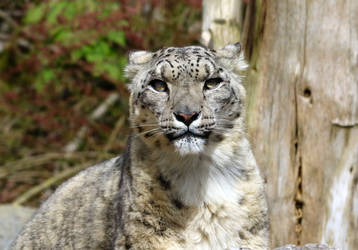Snow Leopard by salt25
