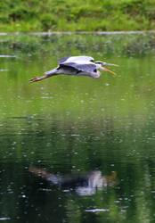 Heron by salt25