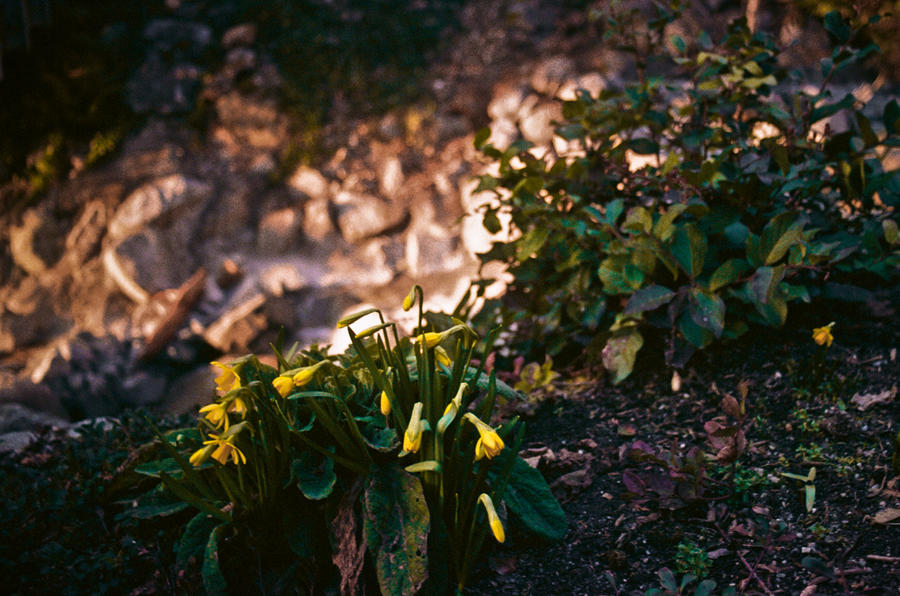 Daffodils on the Sea to Sky Highway by akachrismorgan