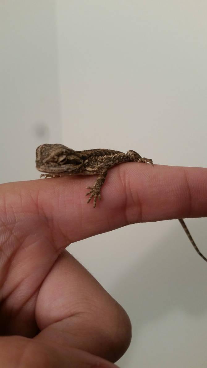 Bearded Dragon (Adoption)