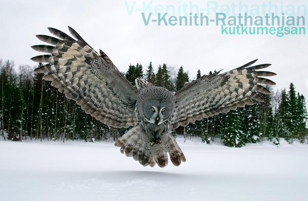 Winters_Elder_Great_Grey_Owl__by_V_Kenith_Rathathian.jpg