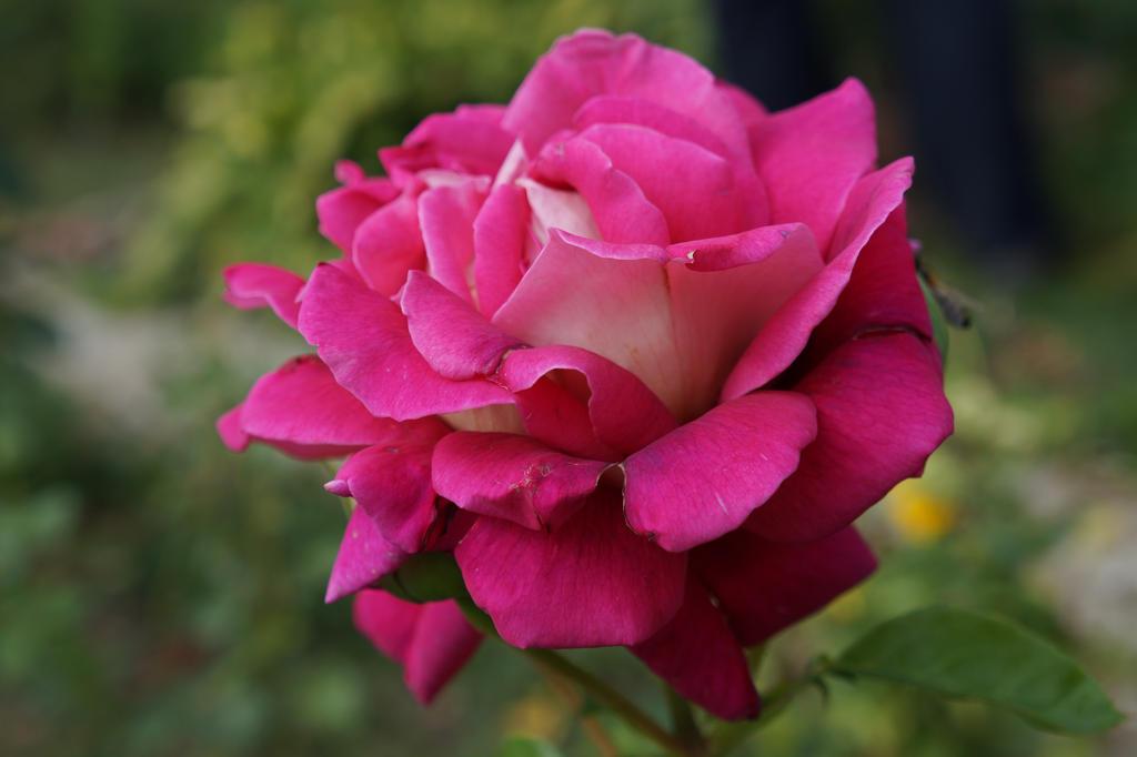 rosa by Alex-hime-san