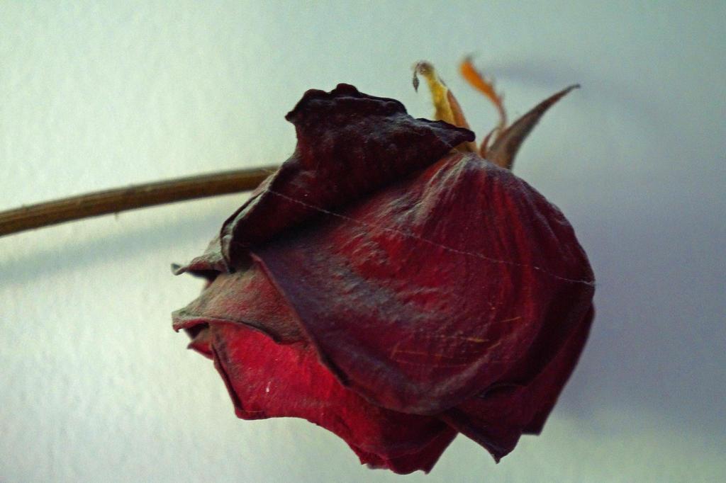 rose by Alex-hime-san