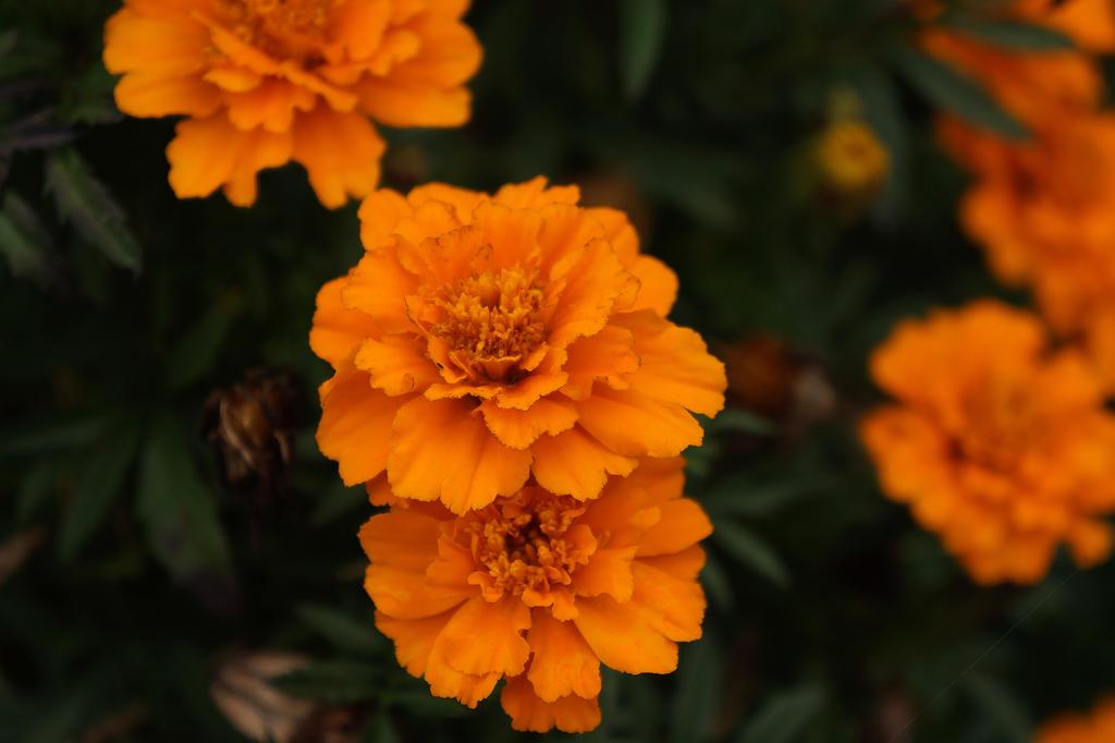 chrysanthemum by Alex-hime-san