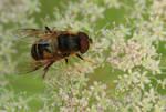 Eine Biene im Wald 01