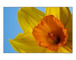 Daffodil by wackymanda