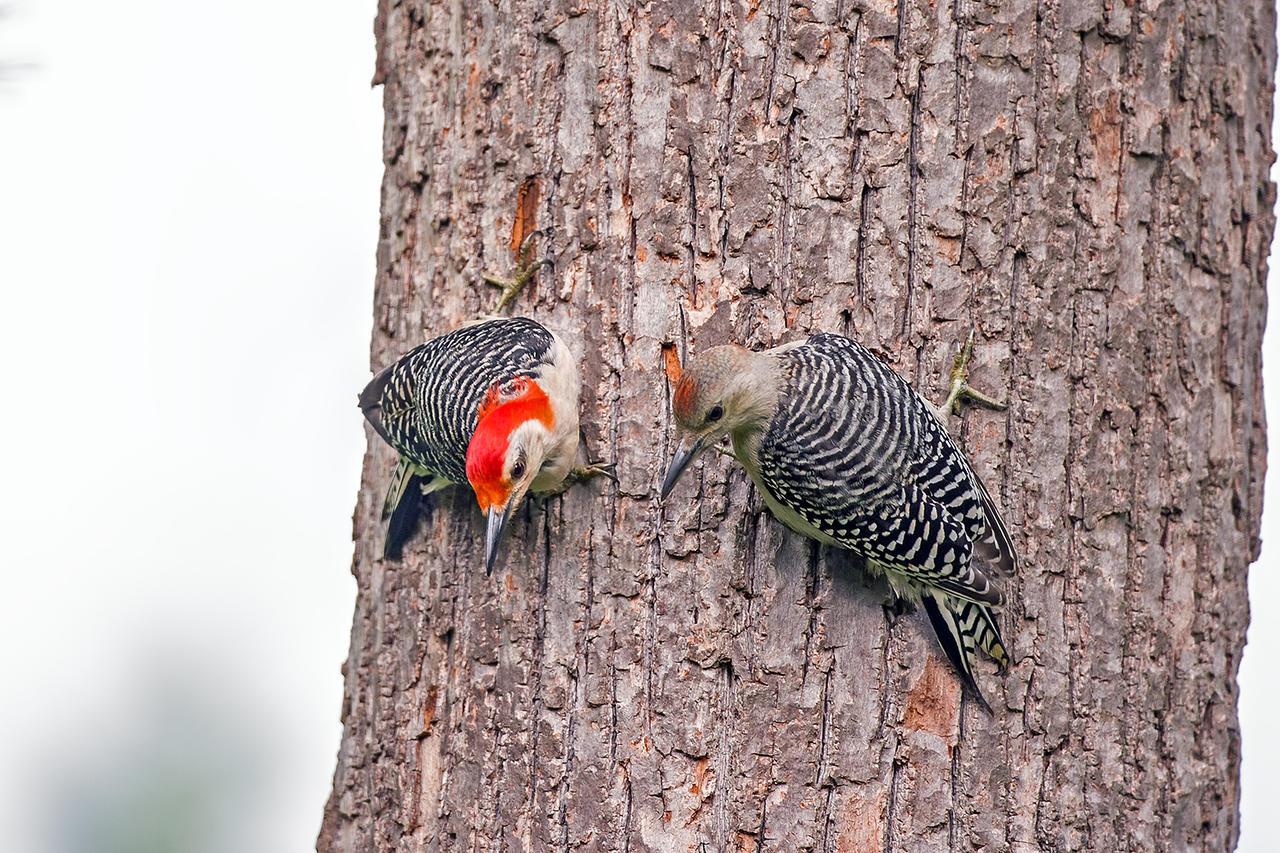 Red Bellied Woodpecker Babies Red Bellied Woodpecker