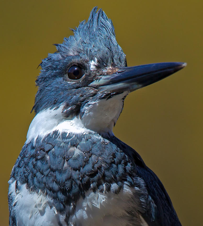 Belted Kingfisher portrait by madmoonhowl