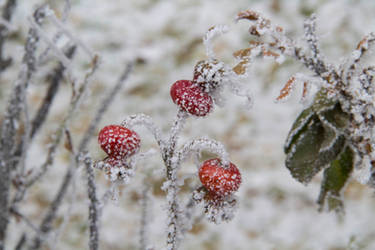 rosehips in the snow
