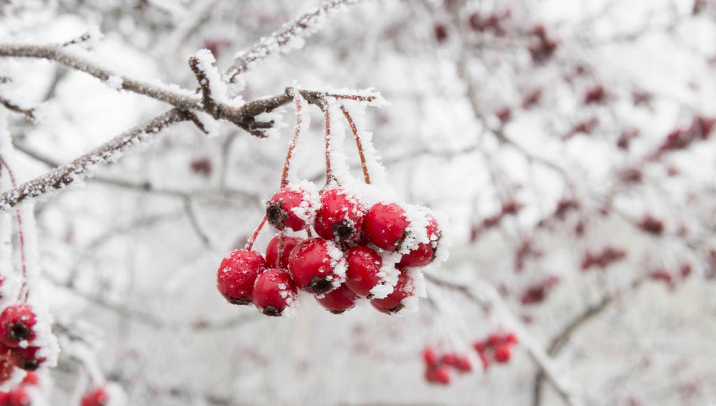 Kalina under the snow by GordonAlyx