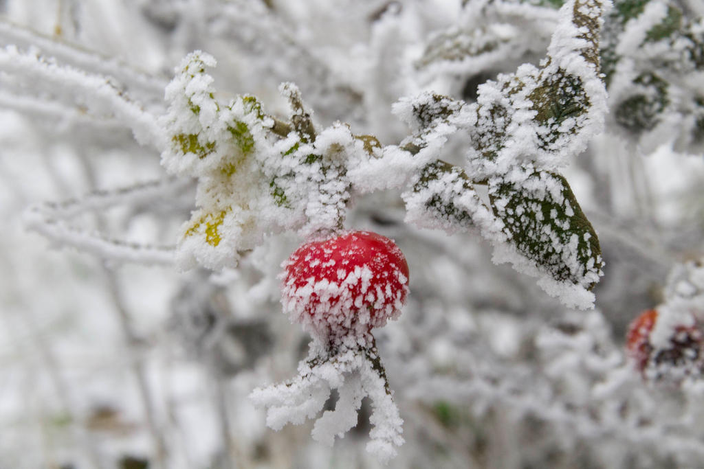 rosehips in the snow by GordonAlyx