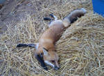Straw fox