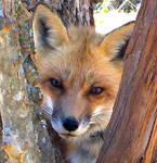 Tree scritchin' fox - Close Up