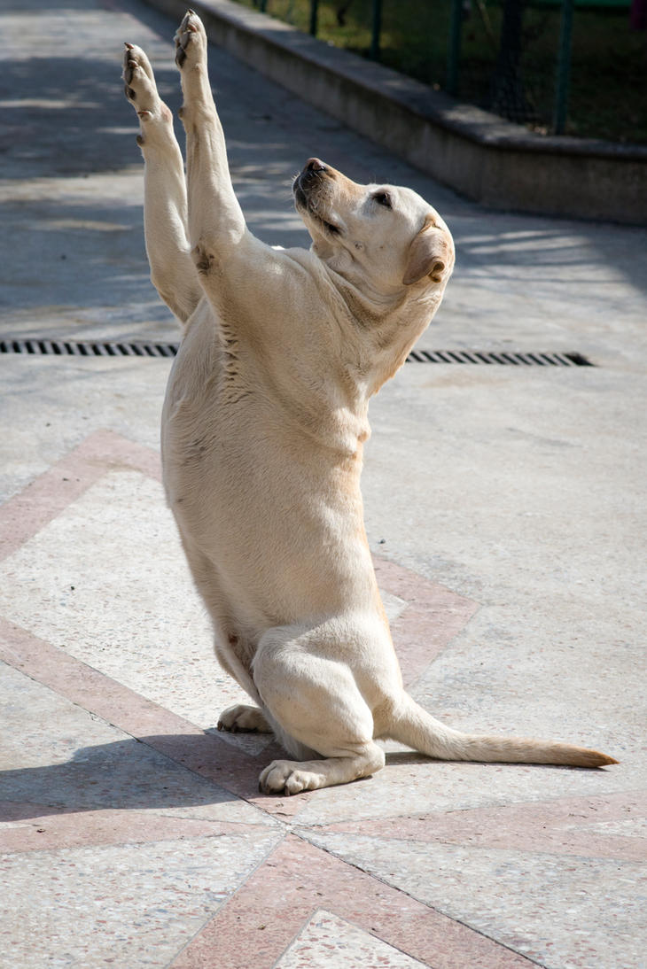 Labrador Begging by Ru...