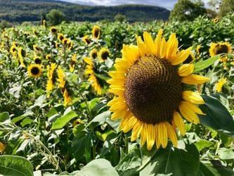 Sunflowers by gerberc