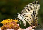 Papilio machaon britannicus