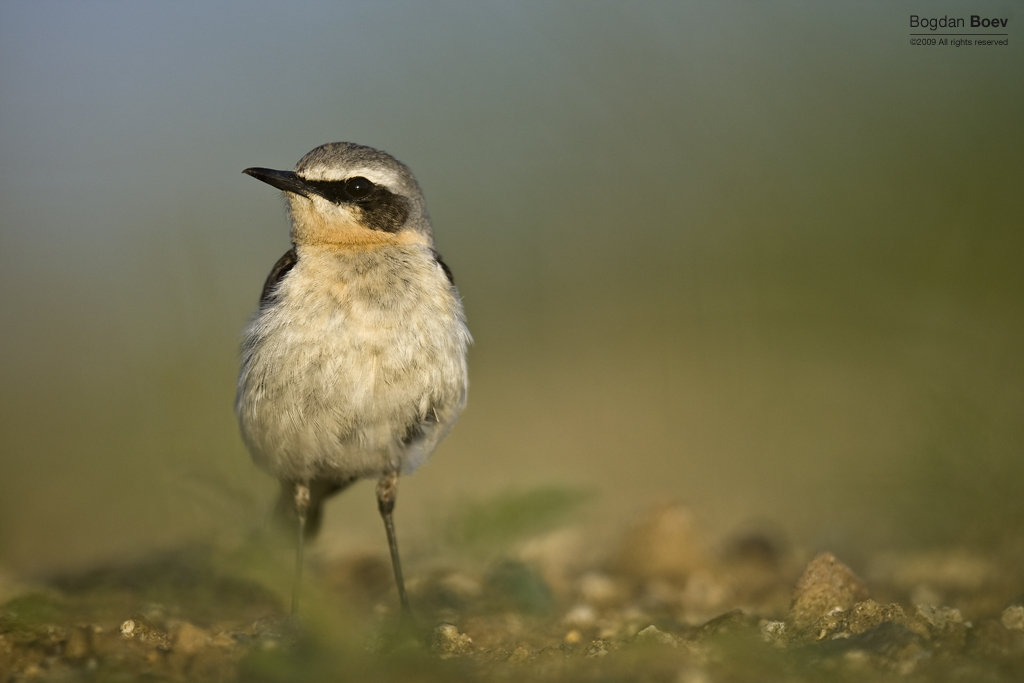 Northern Wheatear by BogdanBoev