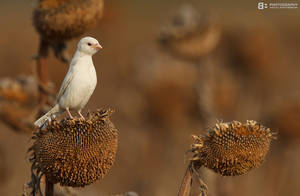 Albino Sparrow by BogdanBoev