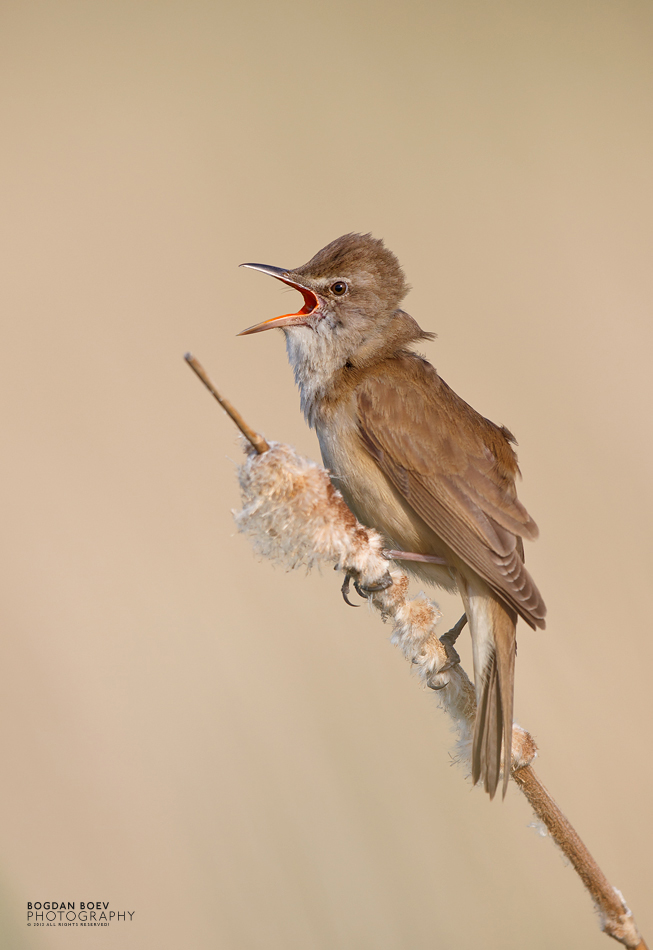 Great Reed Warbler by BogdanBoev