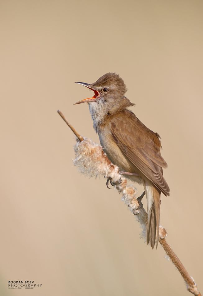 Great Reed Warbler by BogdanBoev