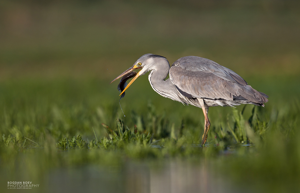 Grey Heron by BogdanBoev