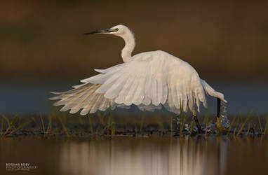 White Egret by BogdanBoev