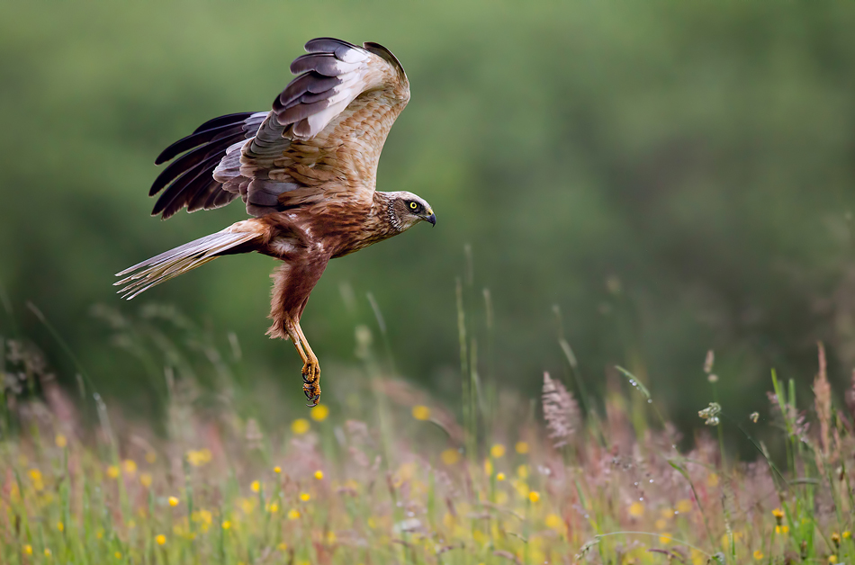 Western Marsh-harrier by ~BogdanBoev