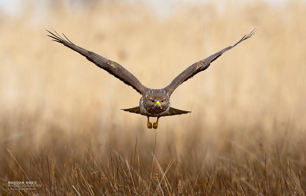 Common Buzzard by BogdanBoev