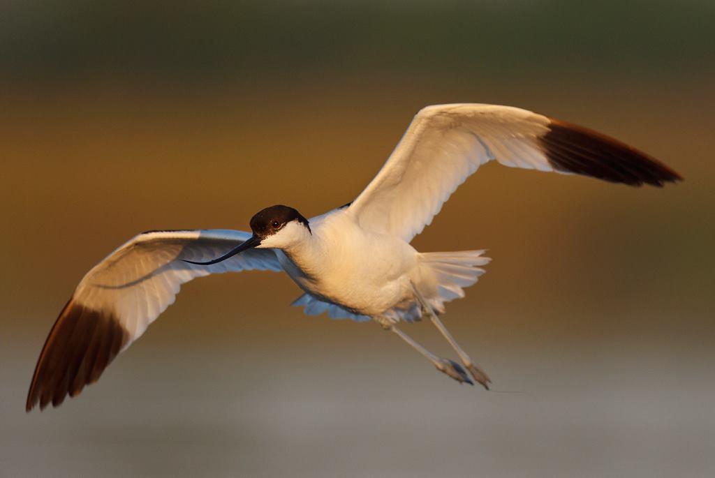 Razne ptice - Page 7 Pied_avocet_by_bogdanboev-d6vu8k6